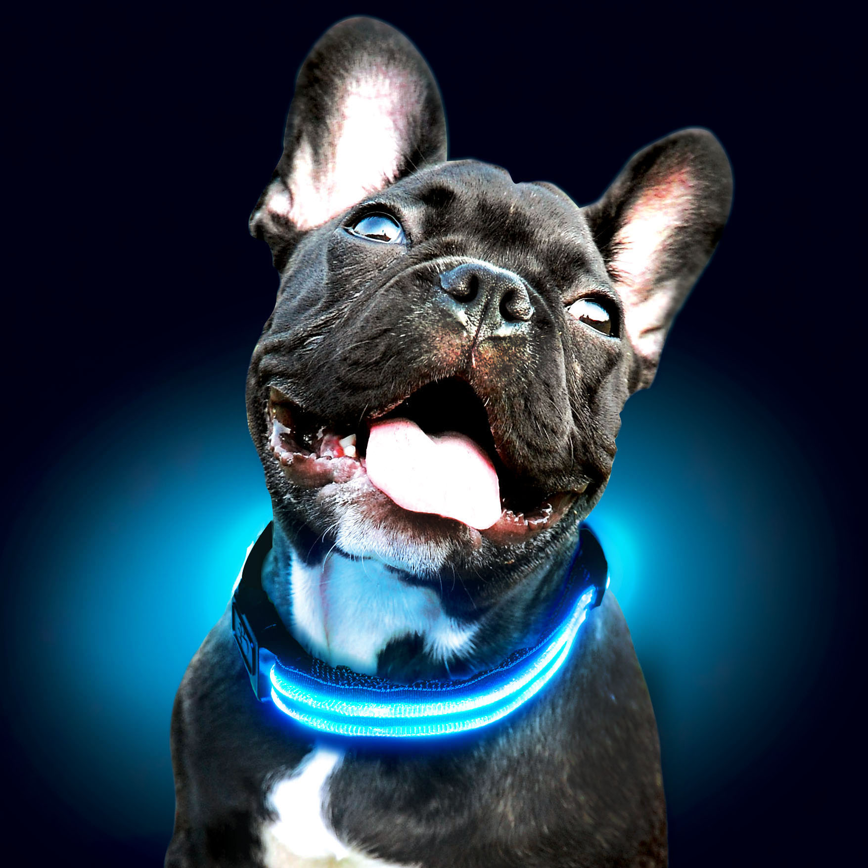 frenchie-puppy-blue-sml